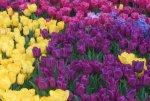 На Елагином острове в Петербурге открылся фестиваль тюльпанов